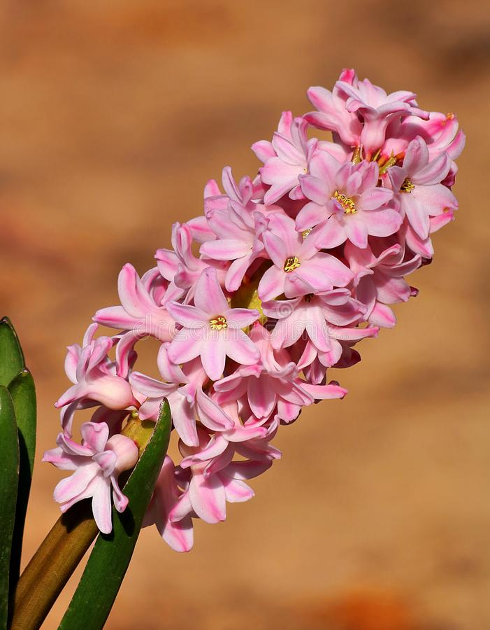 Leaning Light Pink Hyacinth Flower Close-up stock photo