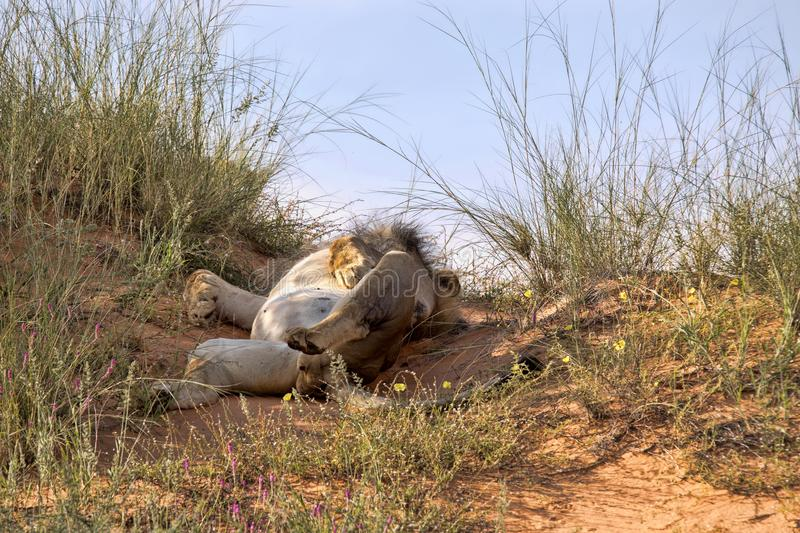 Leaning lioness, Panthera leo, Kalahari South Africa royalty free stock photography