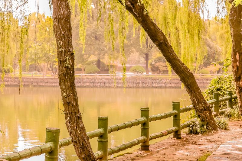 Leaning Trees of Sucheng. The fall yellowish leaves hang over the waterway on the shores of a small river that flows calmly through the Shucheng park. The old royalty free stock photography