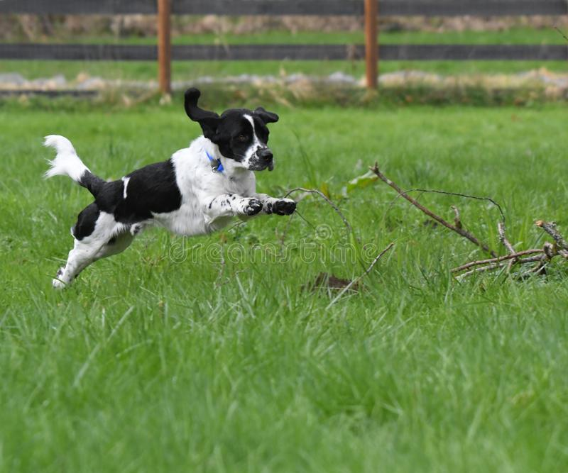 Download Leaping Black And White English Setter Stock Photo - Image of action, green: 113106806