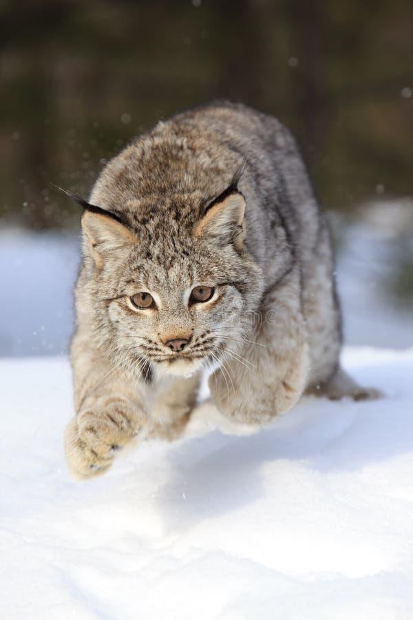 Leaping Bobcat royalty free stock photos