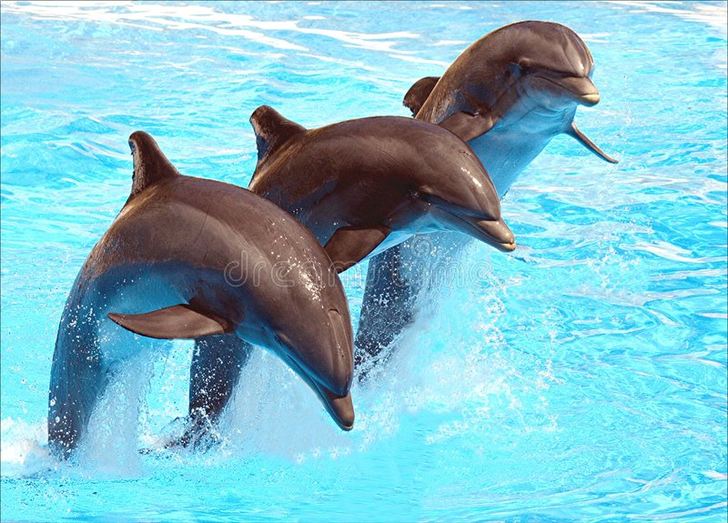 Leaping Dolphins. Three Dolphins leaping in formation in blue water