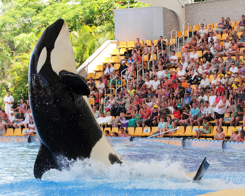 Leaping Killer Whale stock image