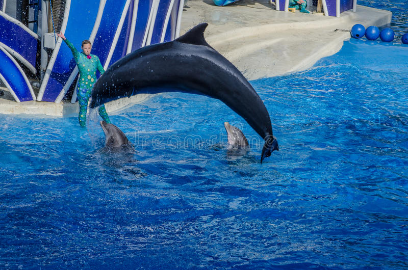 Leaping Dolphin. Dolphin leaping out of the water at Seaworld, Orlando stock image