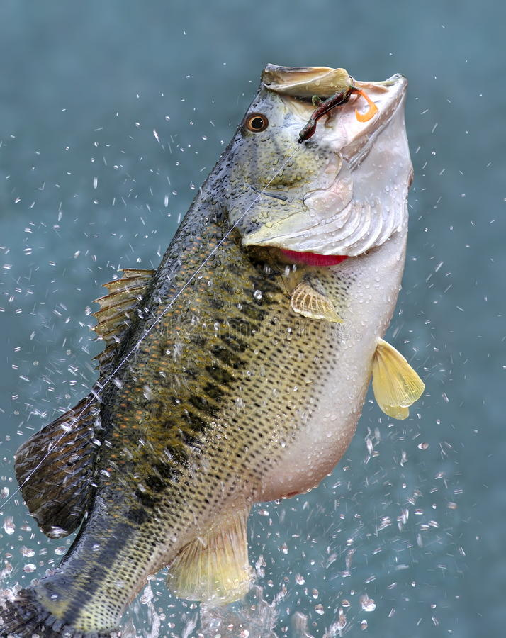 Leaping Largemouth Bass (Micropterus salmoides). A big, beautiful leaping Largemouth Bass on a fisherman's line royalty free stock image