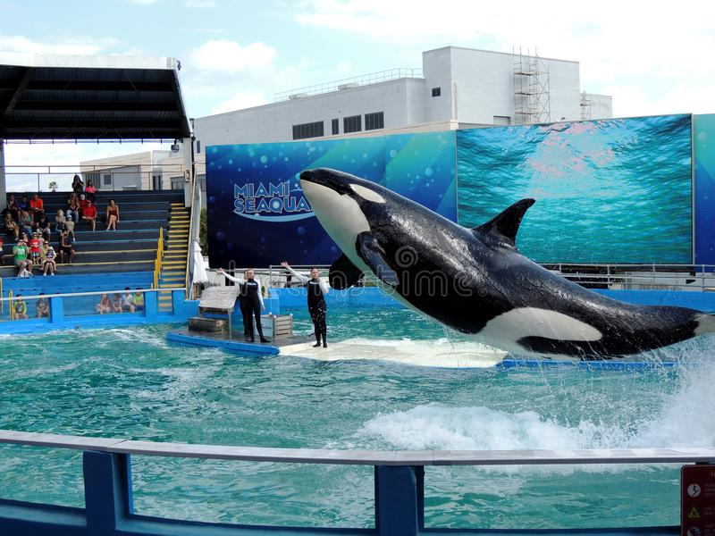 Leaping Lolita the Killer Whale stock photo