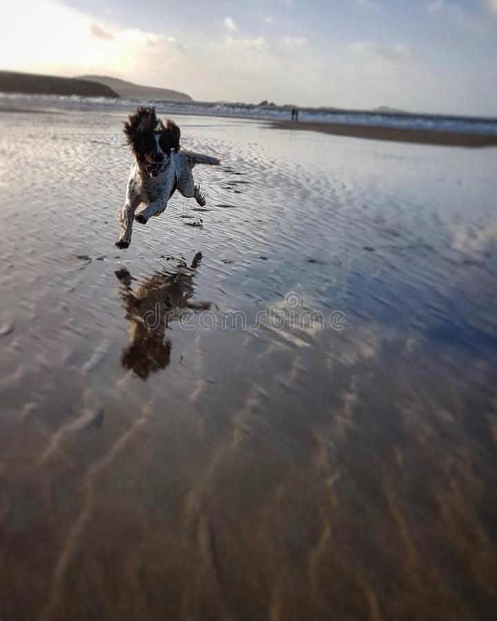 Leaping Spaniel royalty free stock image