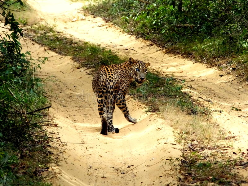 Leapord在斯里兰卡 库存图片