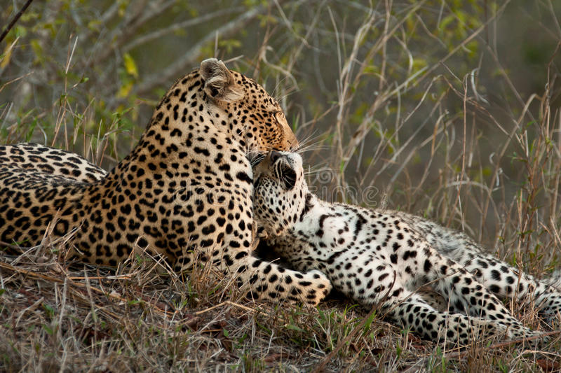 Download Leapord with cub stock photo. Image of hunter, predator - 17676508