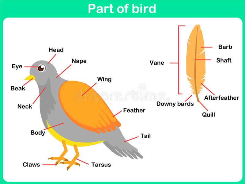 Learning Parts Of Bird For Kids - Worksheet Stock Vector ...