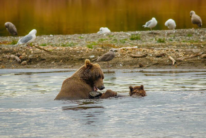 Learning to swim with mama-bear in Alaska. Swimming with mama-bear, mama-bear teach her boy how to swim, pleasant watching two bears in water, bear and her cub royalty free stock photos