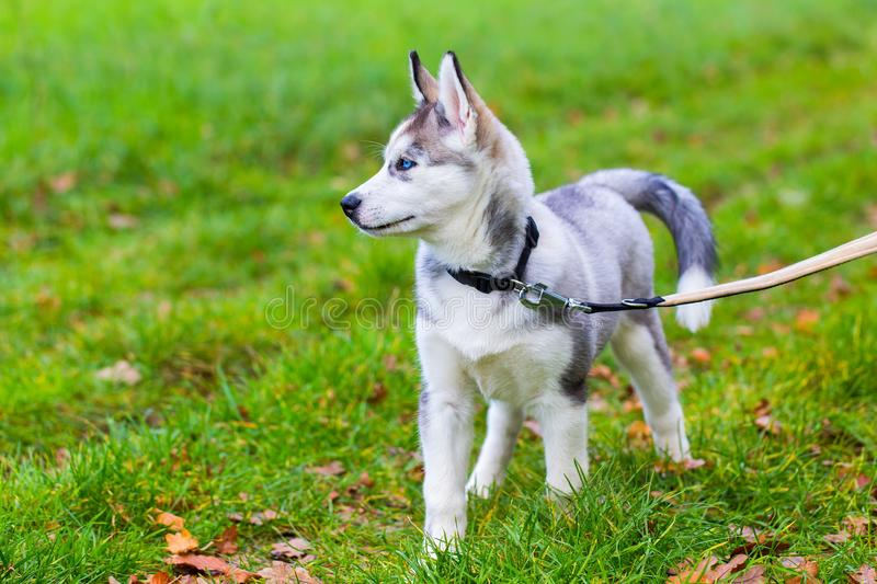 Leashed Husky dog stands in grass royalty free stock photos