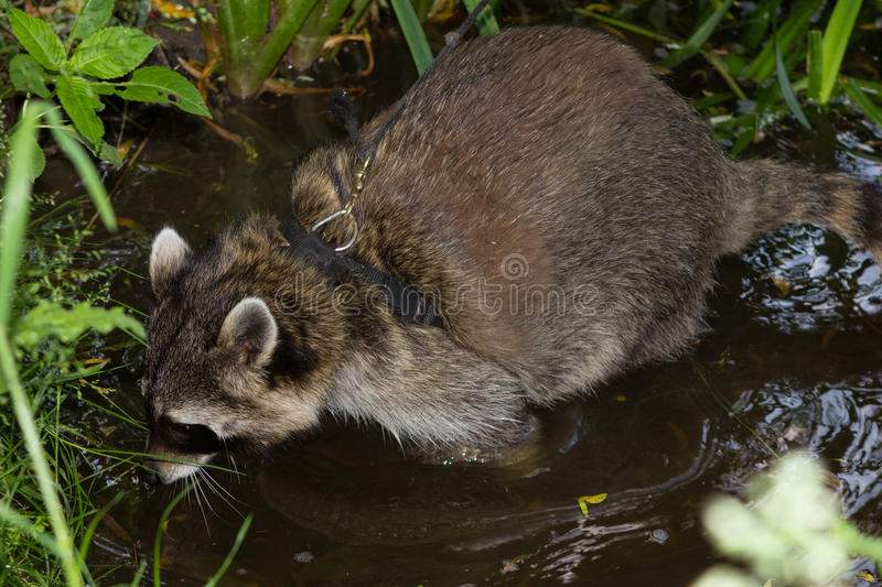 A leashed Raccoon sniffles in water. stock photography