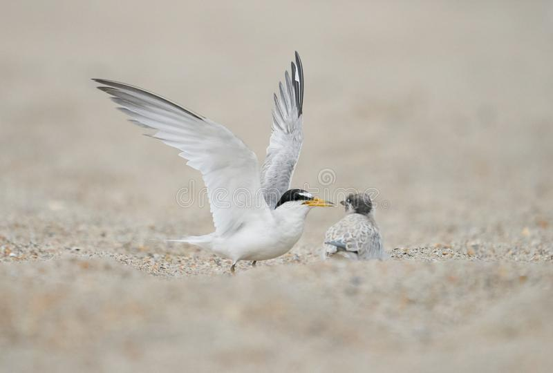 A least tern adult with its chick. A least adult prepares to feed its chick on Wrightsville Beach in Wilmington, North Carolina during the summer breeding season stock photo