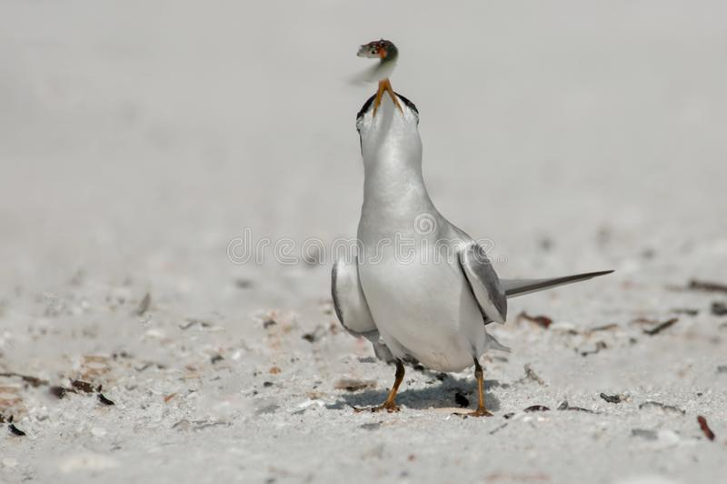 A least tern with a small bait fish in its beak. A least tern with a small bait fish in its yellow orange beak on the beach at Wiggins Pass, Florida stock images