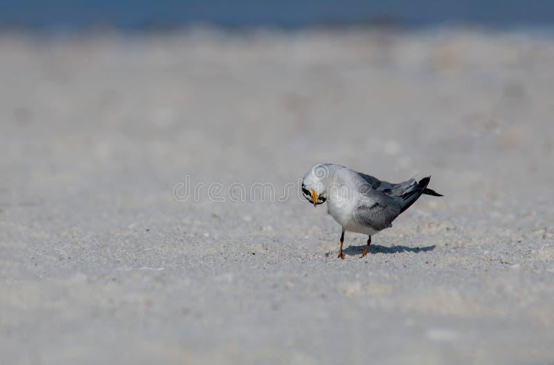 A least tern standing on a sandbar. A least tern Sternula antillarum in a funny head pose standing on a sandbar along the Gulf of Mexico royalty free stock photo