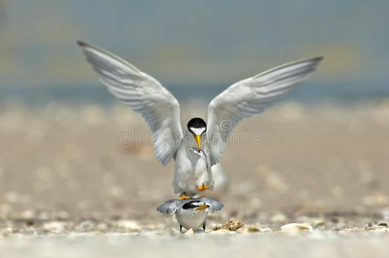 Least terns in a courtship and mating ritual. Least terns in a courtship and mating ritual with a fish on a sandbar in Wiggins Pass Florida royalty free stock image