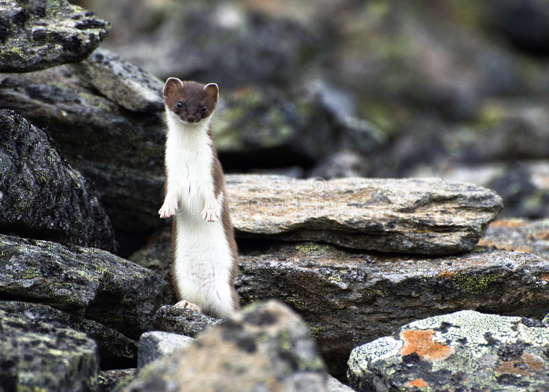 Least weasel (Mustela nivalis) royalty free stock photos