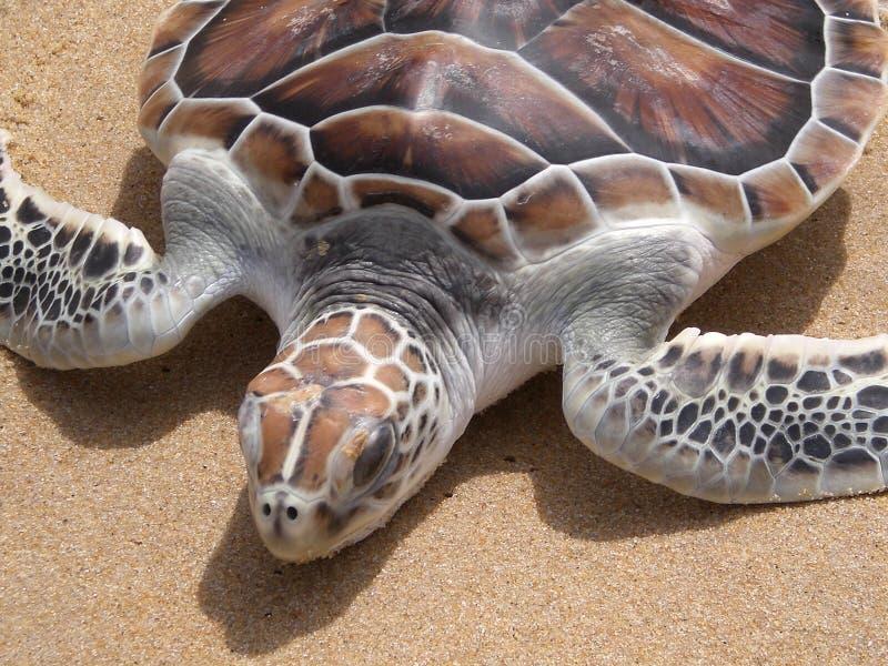 Leatherback turtle on Phuket beach royalty free stock photos