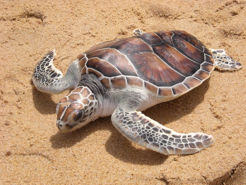 Leatherback turtle on Phuket beach stock image