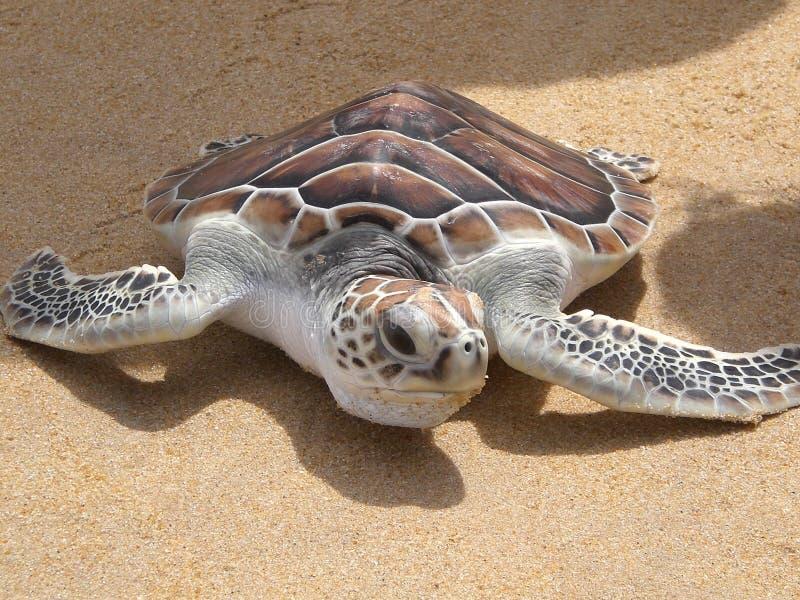 Leatherback turtle on Phuket beach royalty free stock images