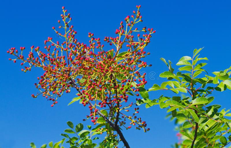 Turpentine tree. The leathery leaves and unripe, red drupes of Terebinth or Turpentine tree against a blue sky stock images