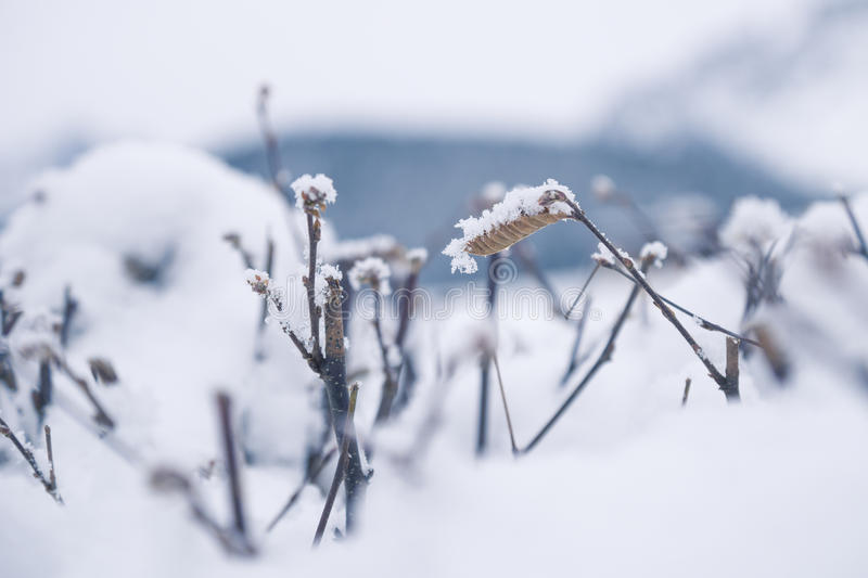 Leave covered with snow. Detail of branches and leaves covered with snow, Tirol, Austria royalty free stock photography