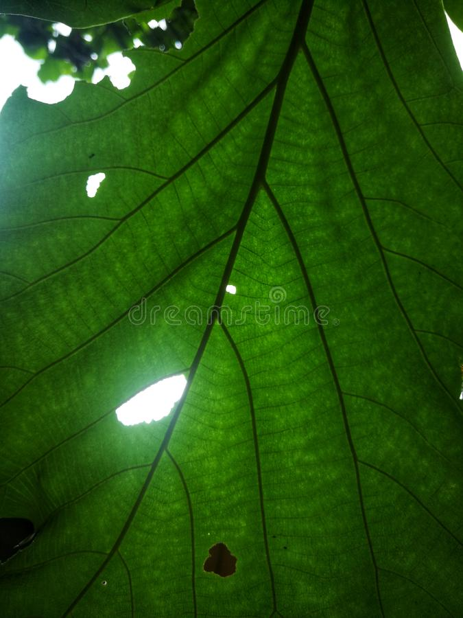 The green leaves are holes with light shining through the fibers. royalty free stock images