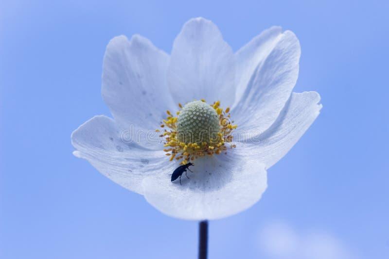 Leaved Blume der Anemone drei gegen blauen Himmel stockbilder