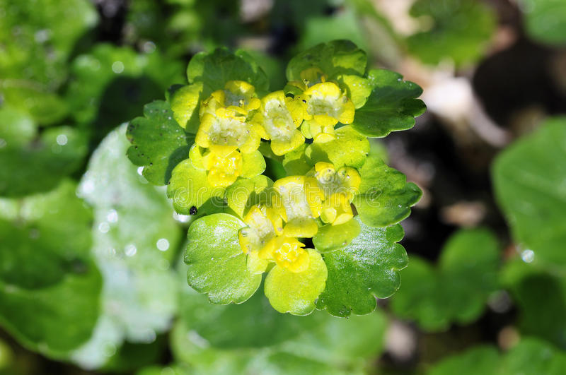 Download Leaved golden saxifrage stock image. Image of leaved - 24075215