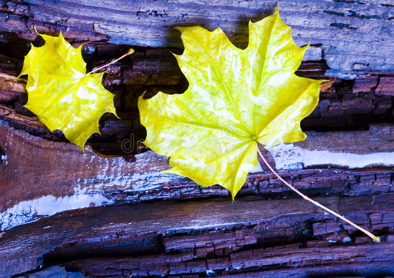 Leaves. In botany, a leaf is an above-ground plant organ specialized for photosynthesis. For this purpose, a leaf is typically flat (laminar) and thin, to expose royalty free stock photo