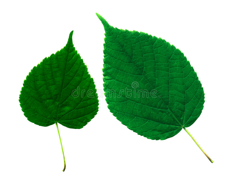 Leaves. Green leaves on the isolated white background stock photos