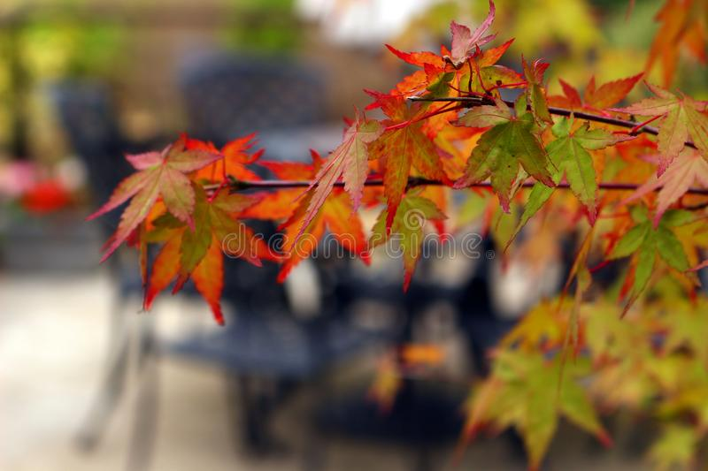 Acer palmatum. Leaves of Acer palmatum or Japanese Maple in Autumn royalty free stock photos