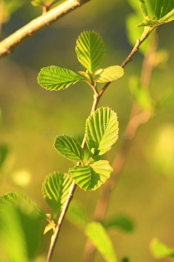 Leaves of alder in the spring. Young leaves of alder in the spring royalty free stock image