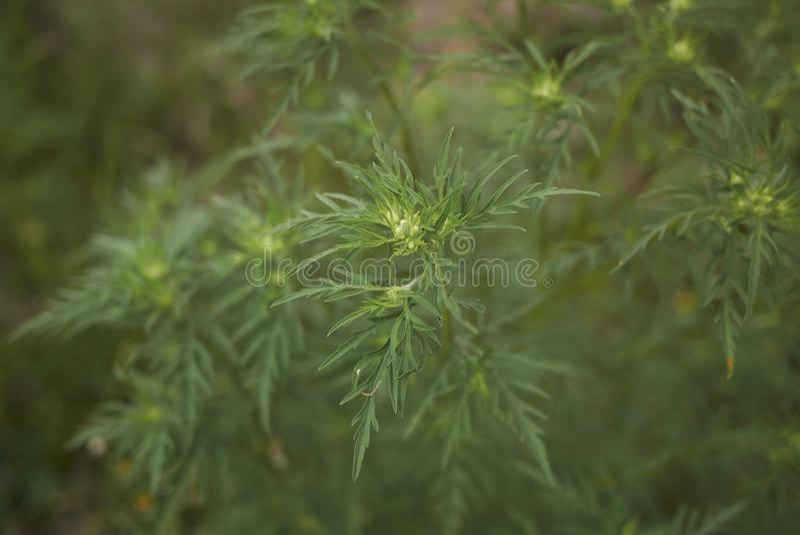 Ambrosia artemisiifolia plant. Leaves of Ambrosia artemisiifolia plant royalty free stock photography