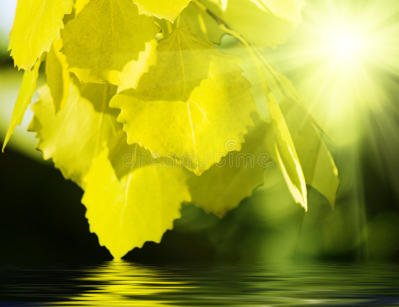Leaves of aspen stock photos