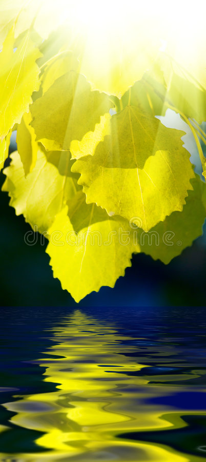 Leaves of aspen and water stock images