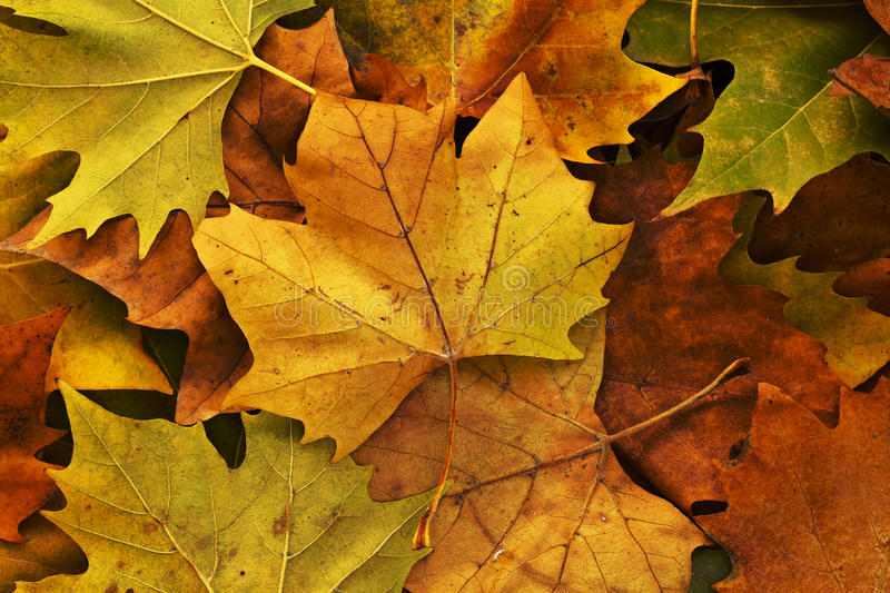 Leaves in autumn. Dry autumn leaves scattered on the ground royalty free stock photography