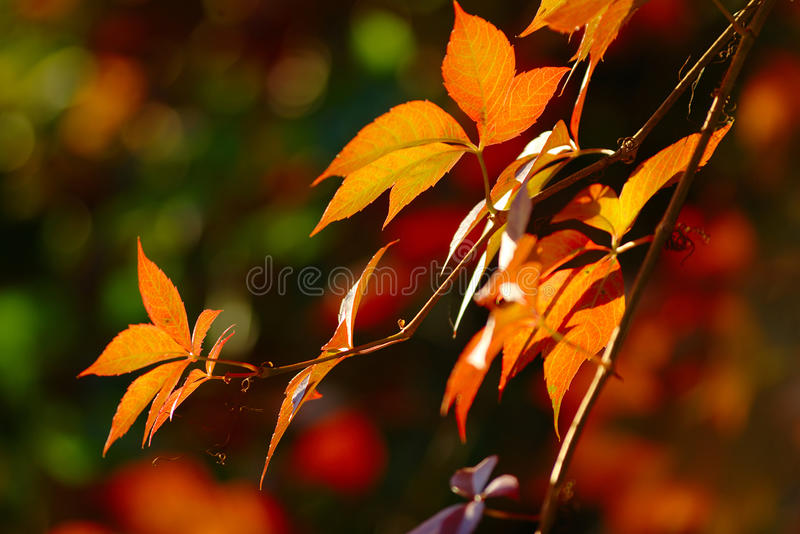 Leaves in Autumn Colors. Red leaves in early autumn on blurred background stock photography