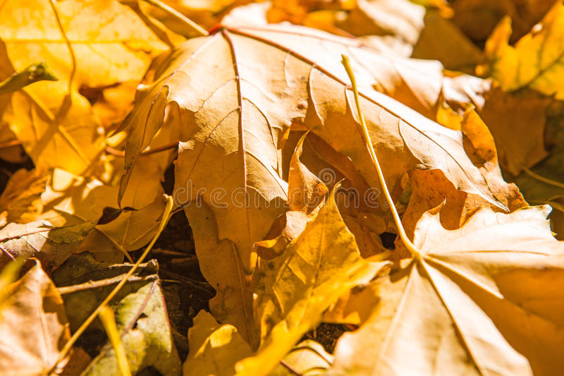 Leaves in autumn royalty free stock photography