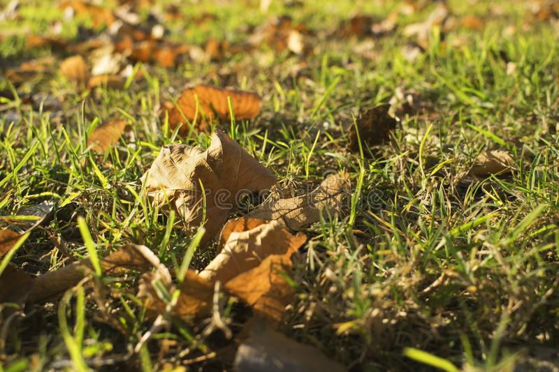 Leaves in autumn on the grass royalty free stock photography