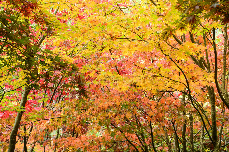Leaves in autumn. Maple Leaves on tree in autumn stock image