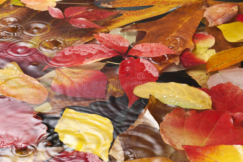 Leaves Autumn Rain Water Background. Autumn leaves full of color under water with raindrops and ripples shot from a low angle royalty free stock photos