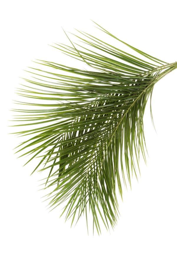 Leaves av palmträdet royaltyfri foto