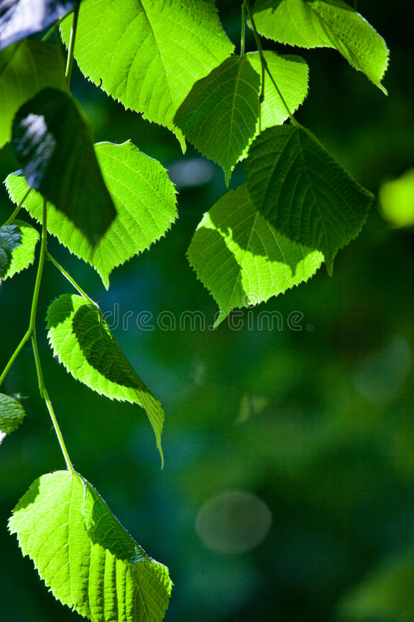 Download Leaves in back light stock image. Image of plant, leafage - 15040077