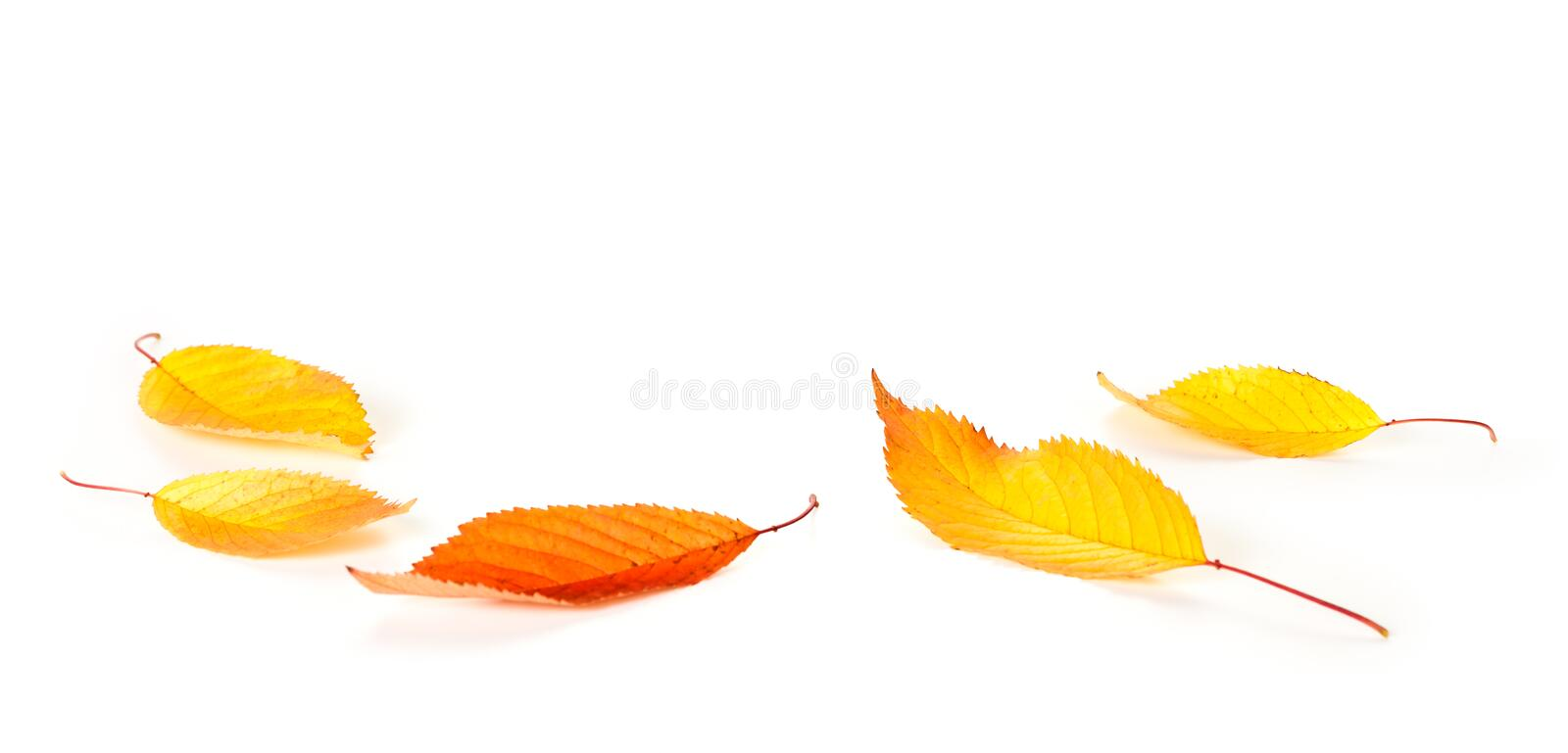 Leaves Background. Autumn cherry leaves on white background with copy space stock images