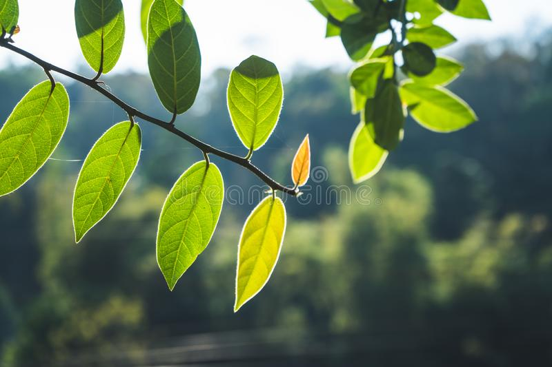 Leaves, background, leaves and evening light.  royalty free stock photos