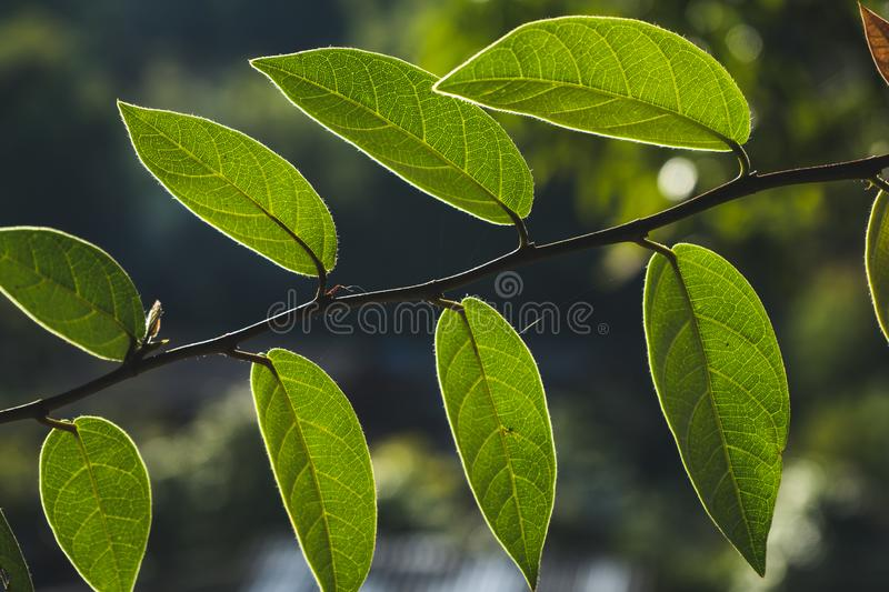 Leaves, background, leaves and evening light.  stock photo