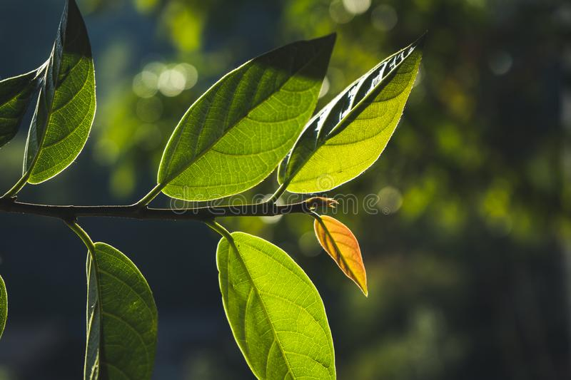 Leaves, background, leaves and evening light.  royalty free stock photography