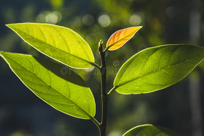 Leaves, background, leaves and evening light.  stock images